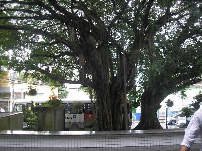 O Ficus